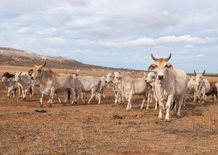 australian landscape: Australian cattle with horns on the move in the outback