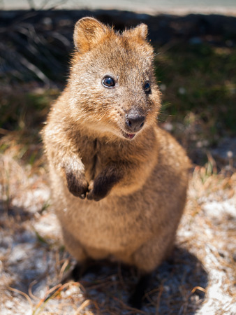 Australian Quokka on rottnest island looking  into the camera 版權商用圖片