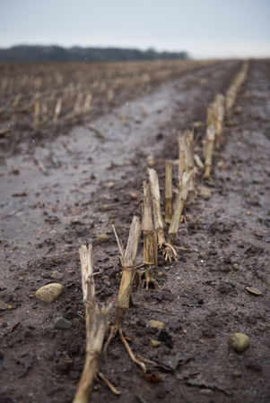 harsh: Dead rotting corn plants on and icy cold field. Harsh winter kills crops