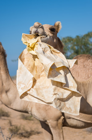 wild camels in the hot dry middle eastern desert eating plastic garbage waste