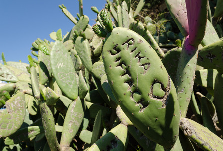 defaced: Green prickly cactus with peoples names carved into the plant