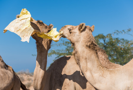 middle east fighting: wild camels in the hot dry middle eastern desert eating plastic garbage waste