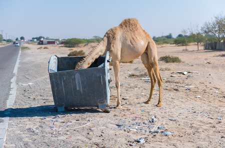 middle east fighting: wild camels in the hot dry middle eastern desert eating from a metal garbage