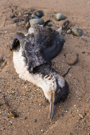 mundo contaminado: Guillemot un pájaro muerto varado en una playa contaminada, después de un derrame de petróleo en el mar.