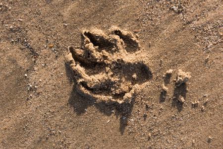 k9: a wild dog paw print on a sandy beach Stock Photo
