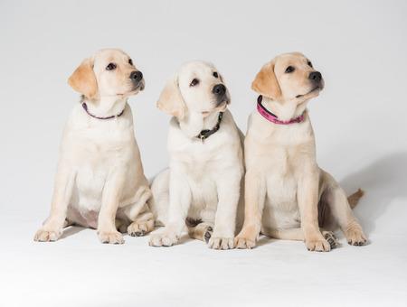 perdigueros hermosas cachorro labrador contra un fondo blanco
