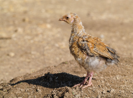 roosting: A free range dirty young chick on a farm wasteland