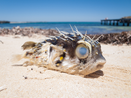 detritus: A pufferfish blowfish washed up on a beautiful tropical beach Stock Photo