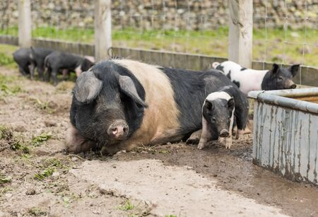 swine flu: Saddleback piglets and mother pig, in a muddy field,looking for food