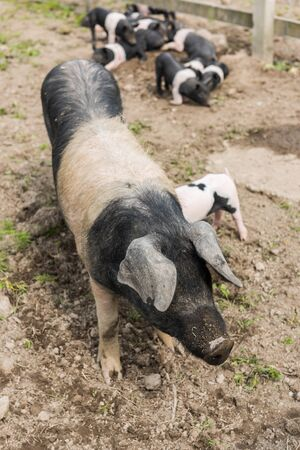 piglets: Saddleback pig shot from above, in a muddy field, with piglets in the background