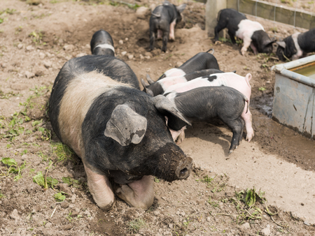 piglets: A large Saddleback pig lying down in a muddy field, while young piglets feed from her nipples Stock Photo