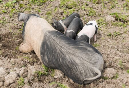 piglets: Saddleback piglets suckling their mothers teets.