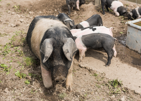 swine flu: A large Saddleback pig lying down in a muddy field, while young piglets feed from her nipples Stock Photo