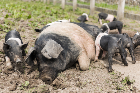 potbelly: A large Saddleback pig lying down in a muddy field, while young piglets feed from  her nipples Stock Photo