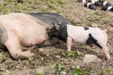 niples: Un gran cerdo Saddleback acostado en un campo de barro, mientras que un lech�n joven se alimenta de sus pezones