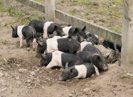 potbelly: Saddleback piglets lying down in a muddy field.