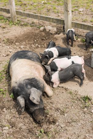 pezones: Un gran cerdo Saddleback acostado en un campo de barro, mientras que los lechones j�venes se alimentan de los pezones