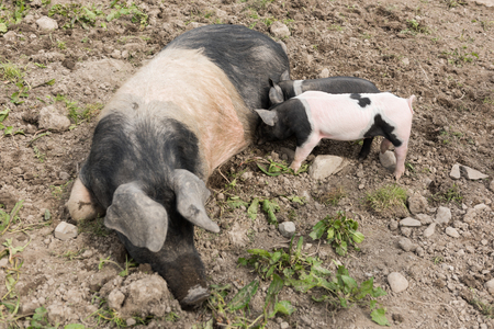 pezones: Un gran cerdo Saddleback acostado en un campo de barro, mientras que un lech�n joven se alimenta de sus pezones
