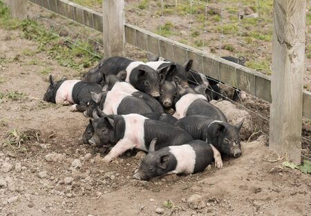piglets: Saddleback piglets lying down in a muddy field.