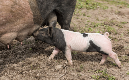 nipples: A large Saddleback pig standing in a muddy field, while young piglets feed from her nipples Stock Photo