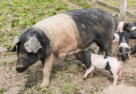 potbelly: Saddleback pig walking in a field, being followed by piglets