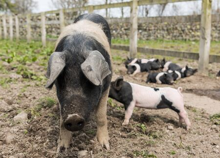 piglets: Saddleback pig in a muddy field, with piglets in the background