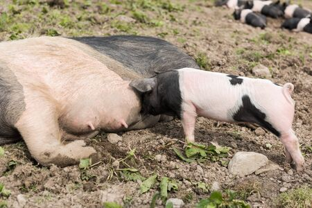 potbelly: A large Saddleback pig lying down in a muddy field, while a young piglet feeds from her nipples