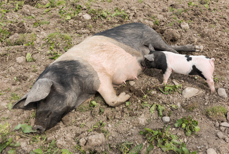 nipples: A large Saddleback pig lying down in a muddy field, while a young piglet feeds from her nipples