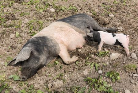 pezones: Un gran cerdo Saddleback acostado en un campo de barro, mientras que un lechón joven se alimenta de sus pezones