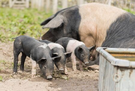 piglets: Saddleback piglets and mother pig, in a muddy field,looking for food