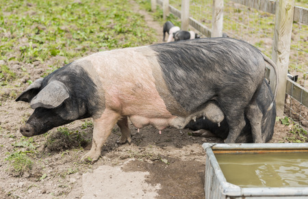 piglets: Saddleback pig with full tests, in a muddy field, with piglets in the background