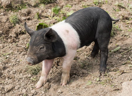 potbelly: Saddleback piglet looking for food in a muddy field Stock Photo