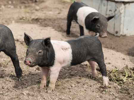 potbelly: Saddleback piglets looking for food in a muddy field