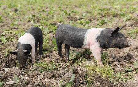 piglets: Saddleback piglets looking for food in a muddy field