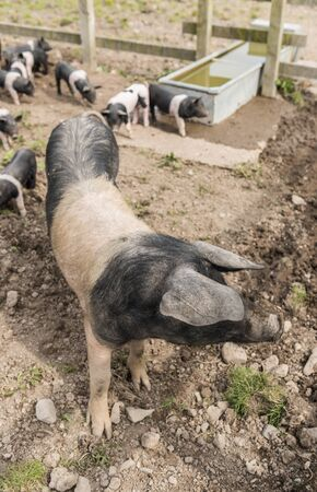 piglets: Saddleback pig shot from above in a muddy field, with piglets in the background Stock Photo