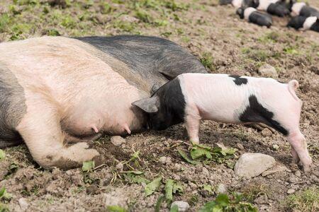 pezones: Un gran cerdo Saddleback acostado en un campo de barro, mientras que los lechones jóvenes se alimentan de los pezones