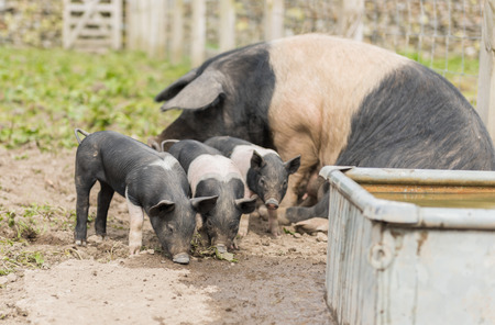 potbelly: Saddleback piglets and mother pig, in a muddy field,looking for food
