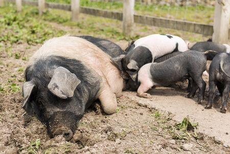 niples: Un gran cerdo Saddleback acostado en un campo de barro, mientras que los lechones j�venes se alimentan de los pezones