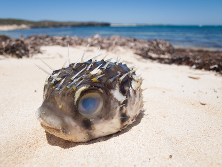 pufferfish: A pufferfish blowfish washed up on a beautiful tropical beach Stock Photo