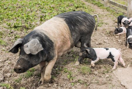piglets: Saddleback pig walking in a field, being followed by piglets