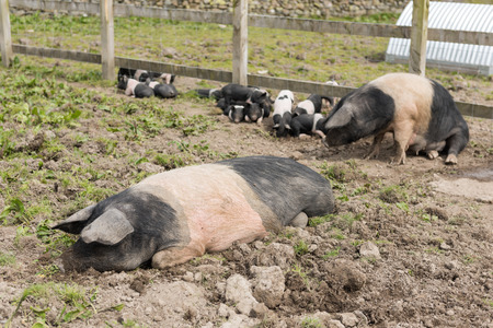 potbelly: Saddleback pig lying down in a muddy field