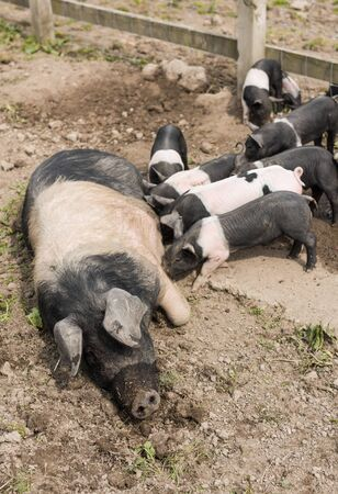 pezones: A large Saddleback pig lying down in a muddy field, while young piglets feed from  her nipples Foto de archivo
