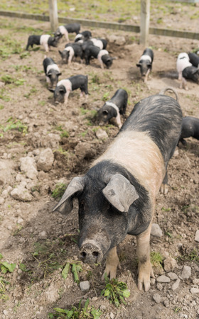 potbelly: Saddleback pig shot from above, in a muddy field, with piglets in the background