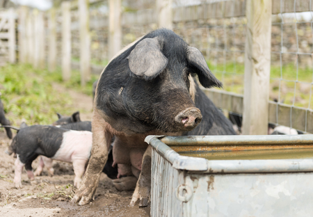 potbelly: A large Saddleback pig taking a drink of water from a trough Stock Photo