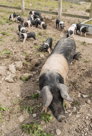 swine flu: Saddleback pig shot from above, in a muddy field, with piglets in the background