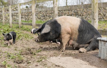 levantandose: Saddleback cerdo levantarse del suelo Foto de archivo
