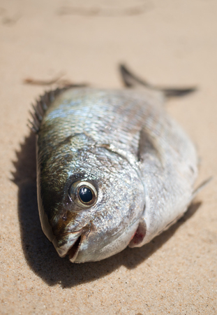 fished: A freshly caught bream fish caught on the beach