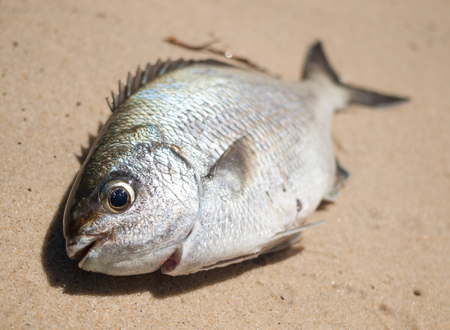 fishy: A freshly caught bream fish caught on the beach