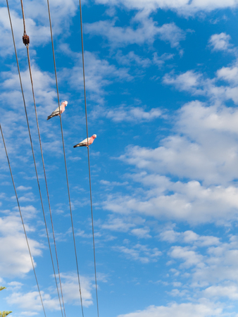 two pink australian galah cockatoos perching on a city telegraph pole, against a vivid blue sky backdrop.