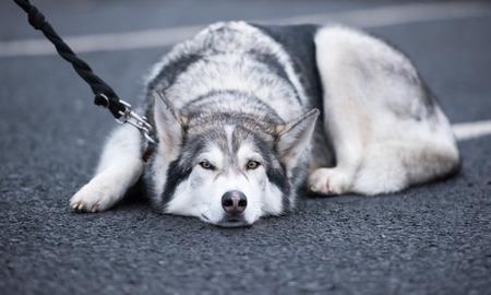 A beautiful husky wolf dog, with yellow eyes and beautiful fur coat, sleeping on the tarmac floor. Stock Photo